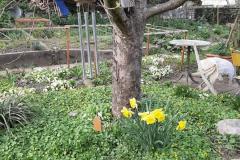 Pfarreibaum im Frühlingsgarten